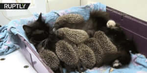 Ez a macska örökbe fogadta az árva sündisznókat