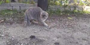 Egy macska játszadozik a prédájával, aztán hirtelen..