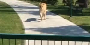 Az oroszlánok találkoznak a rég nem látott barátjukkal