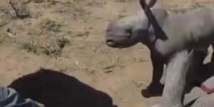 Bébi orrszarvú őrzi az anyukáját, aki egészségügyi ellátásban részesül